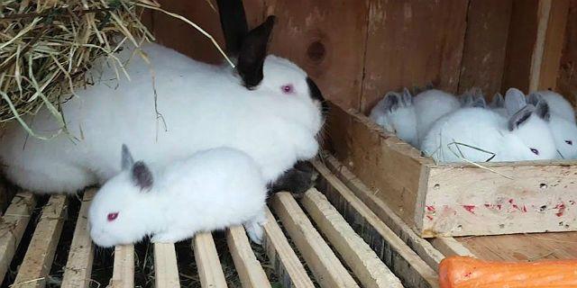 Калифорнийские кролики - уход и содержание