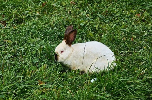 Калифорнийский кролик в траве