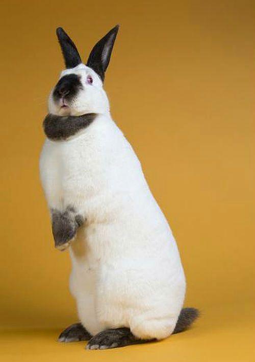 Калифорнийские кролики - конституция