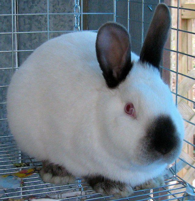 Калифорнийские кролики - как выбрать