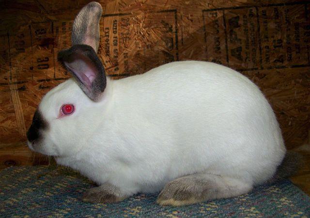 Калифорнийский кролик - вид сбоку