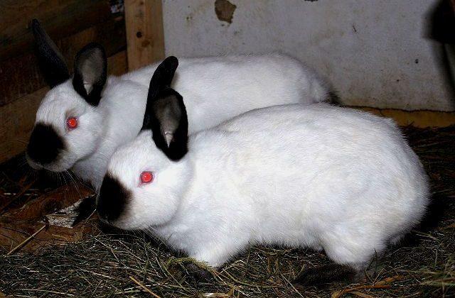 Два калифорнийских кролика