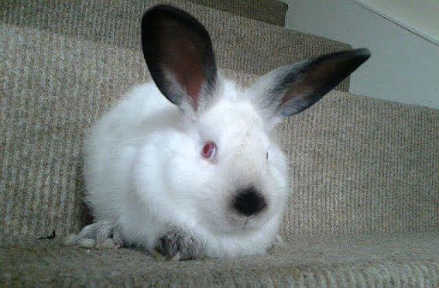 Калифорнийский кролик - мордочка