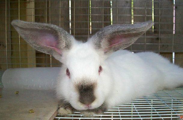 Калифорнийский кролик лежит