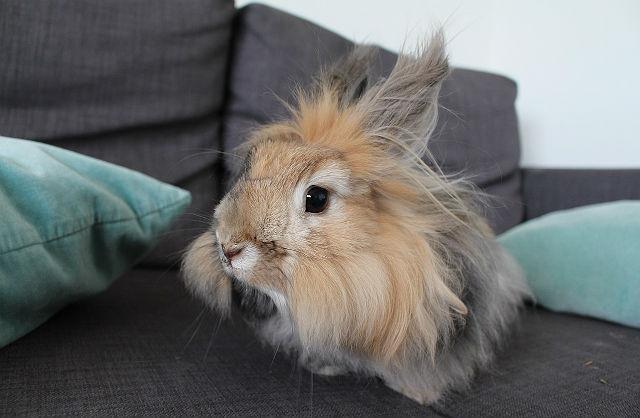 Кролик Карликовая ангора