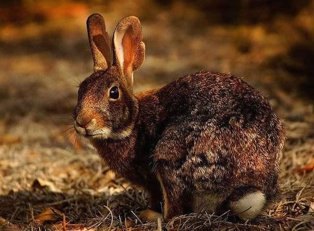 Китайский заяц