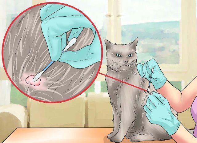 Клещ на кошке - обработка места укуса