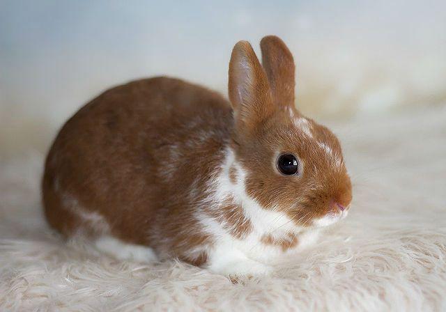 Короткошерстный карликовый кролик-1
