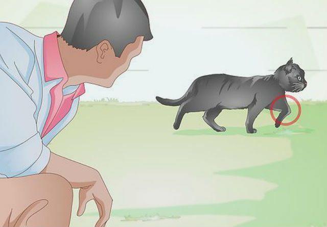 У кошки травмирована лапа