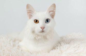 Кошки с разного цвета глазами - главное фото