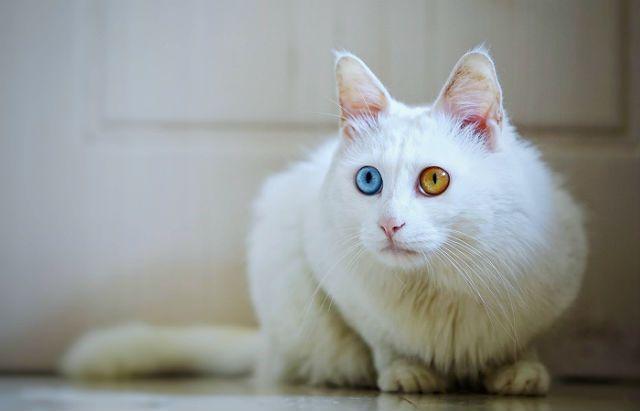 Ангорская кошка с разным цветом глаз