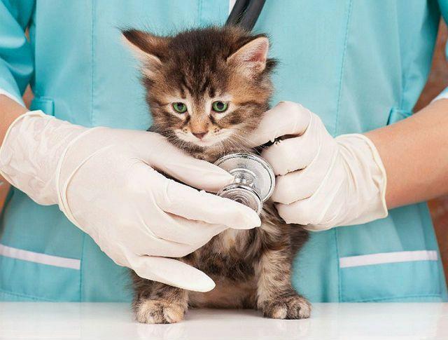 Котенок не ходит в туалет по-большому - помощь ветеринара