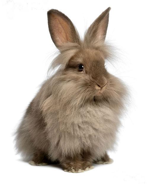 Кролик львиная головка-1