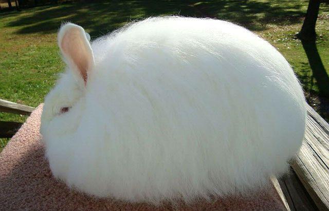 Кролик ангора