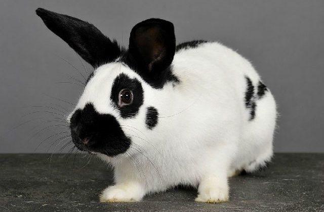Кролик-бабочка