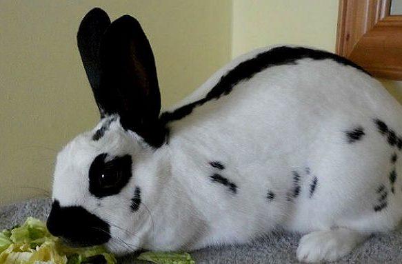 Бабочка-кролик