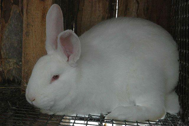 Кролик белый паннон-1