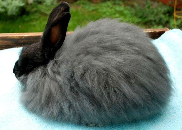 Кролик французский