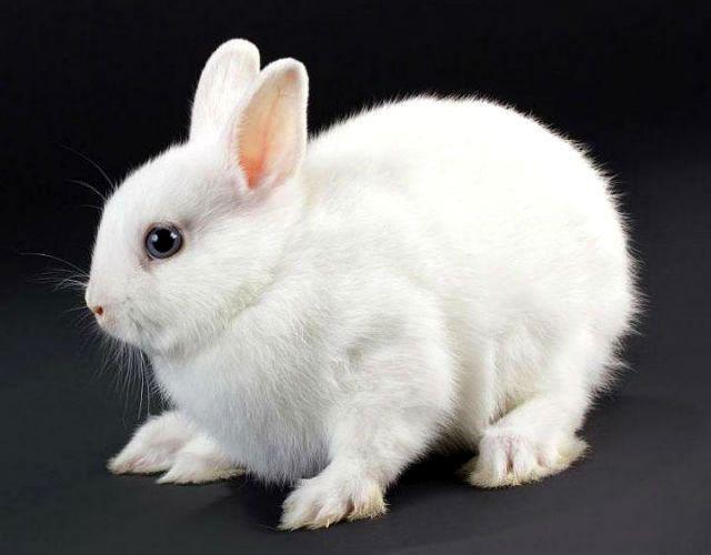 Кролик гермелин-1