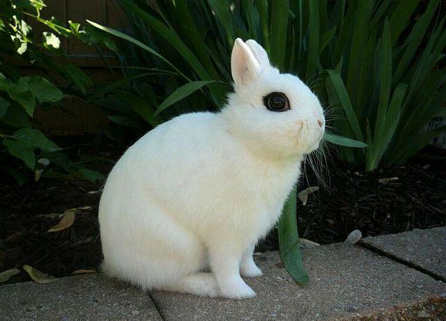 Кролик хотот