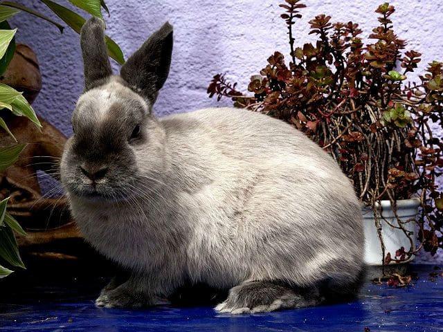 Кролик мардер-1
