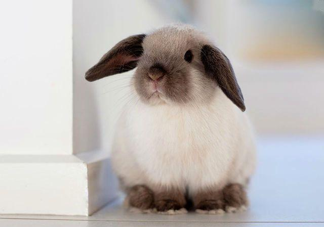 Кролик минилоп-1