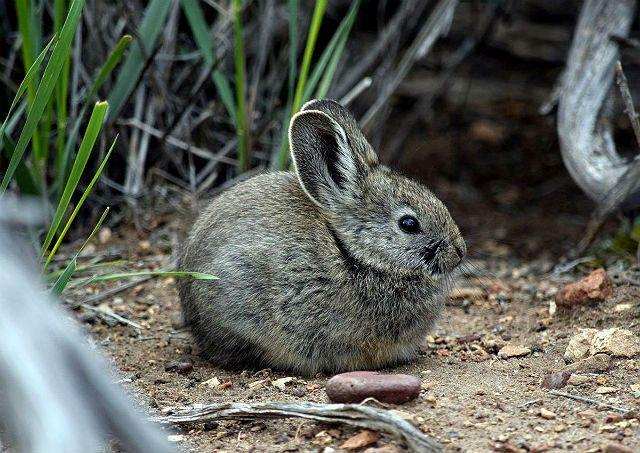 Кролик пигмей