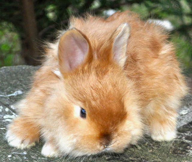 Кролик сатин