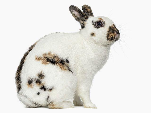 Кролики бабочки - конституция