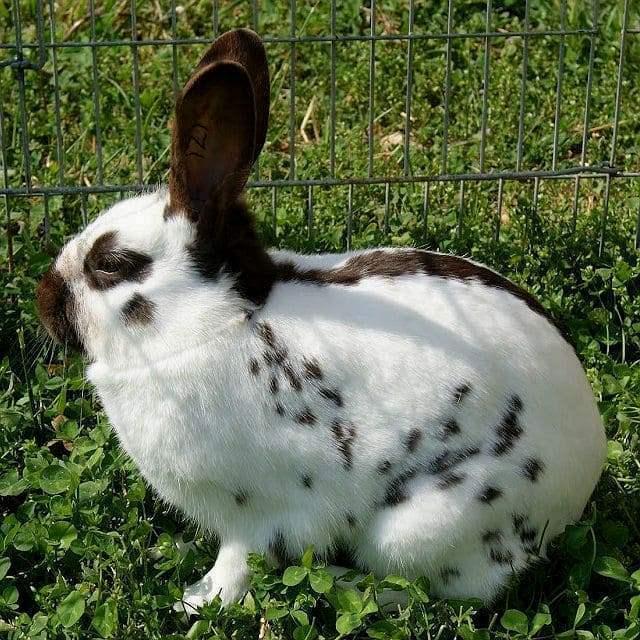 Кролики бабочки - окрасы