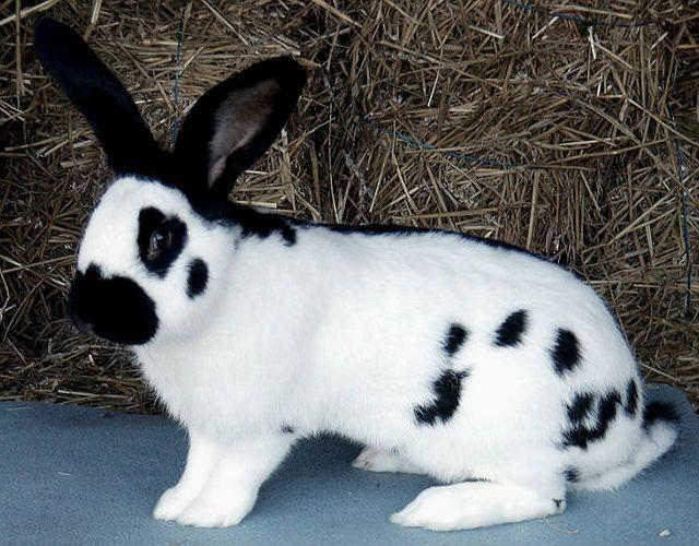 Кролики бабочки - уход и содержание