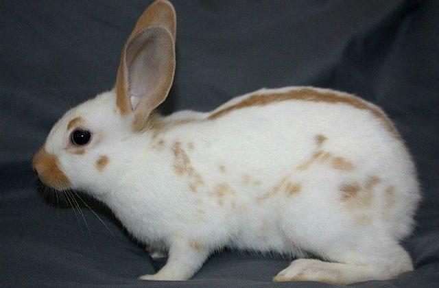 Кролик-бабочка - вид сбоку