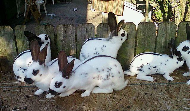 Кролики бабочки - разведение