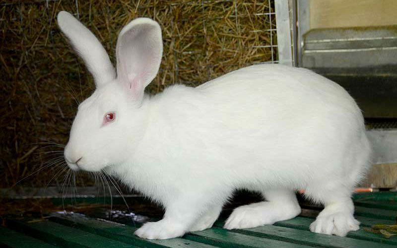 Кролик белый великан - главное фото