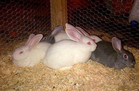 Кролики породы белые великаны