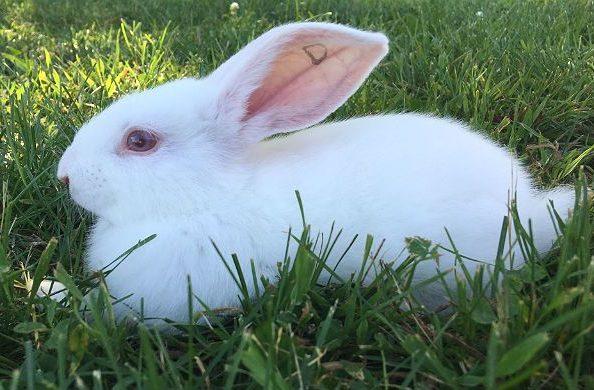 Кролики белые великаны - вид сбоку