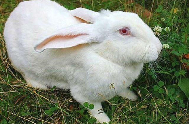 Кролики белые великаны с красными глазами