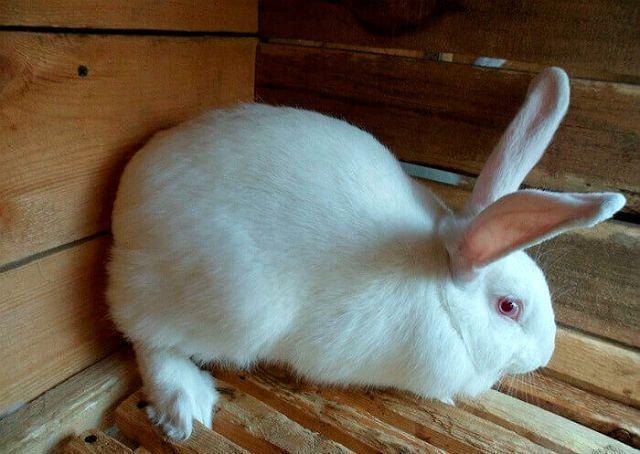 Кролики белые великаны в загончике