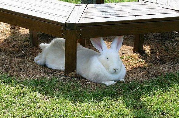 Кролики белые великаны лежит на траве