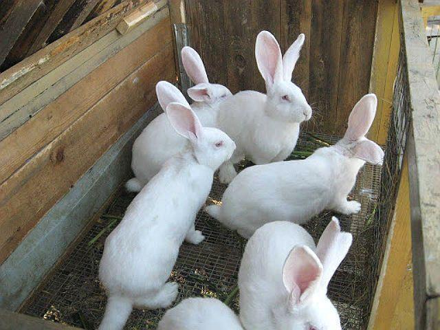 Кролики белые великаны - плодовитость