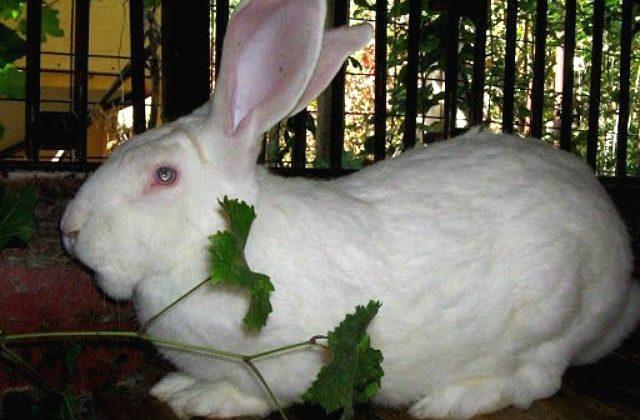 Крупный кролик белый великан