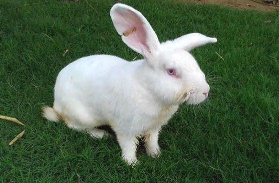 Белый великан - кролик