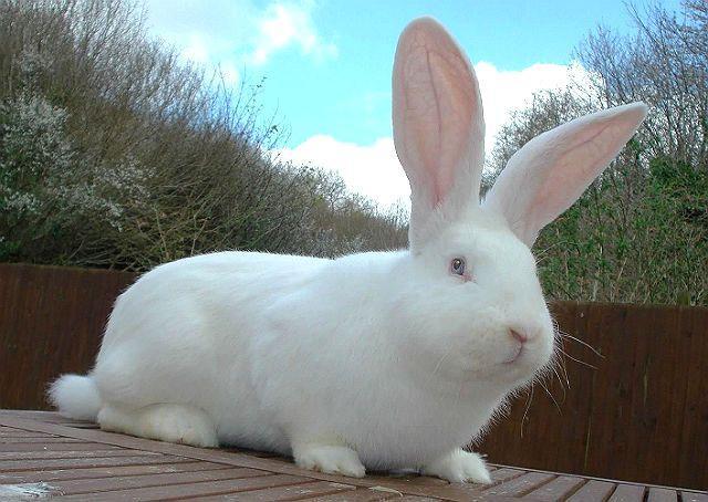 Красивый кролик белый великан