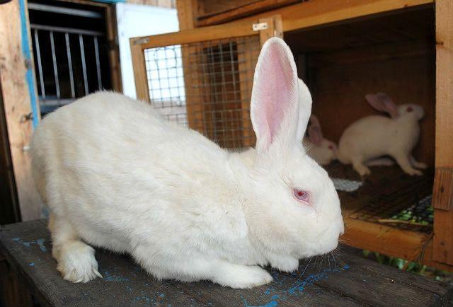 Кролики белые великаны - уход и содержание