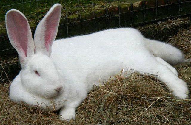 Кролик белый великан лежит на сене