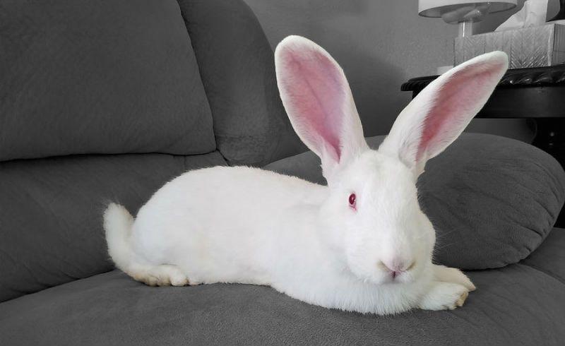 Кролики белые великаны - конституция
