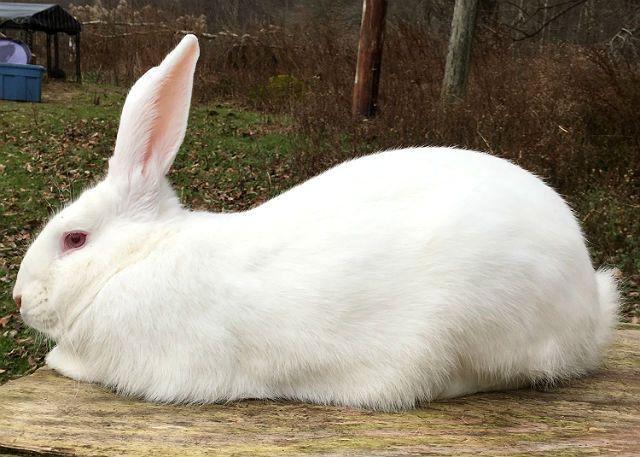 Кролики белые великаны - здоровье