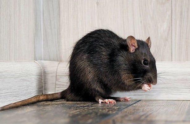 Крыса черная