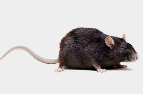 Крыса черная-1