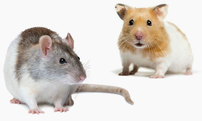 Крыса или хомяк - кто лучше